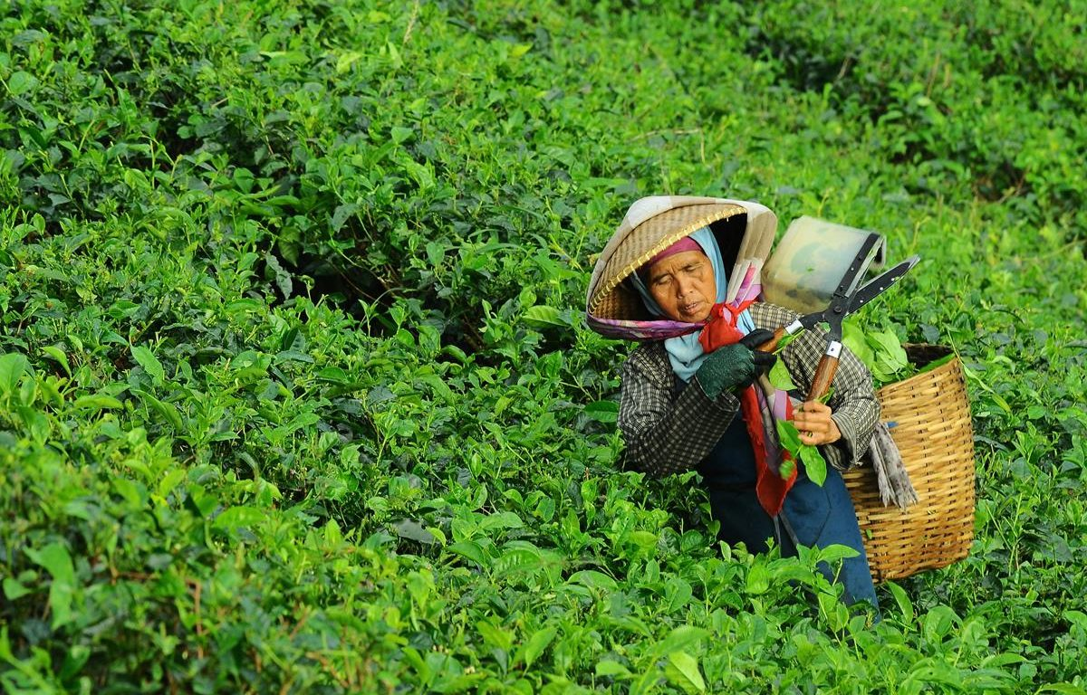 woman picking tea from the side of a hill and carrying a basket of tea